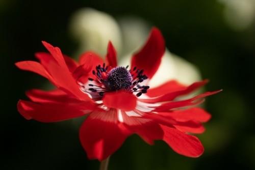 anemone-6288318_960_720.jpg