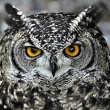 owl-6338951_960_720