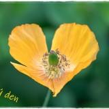 poppy-6339206_960_720