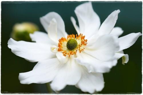 anemone-6545519_960_720.jpg