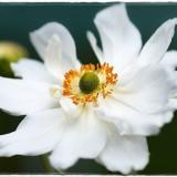 anemone-6545519_960_720