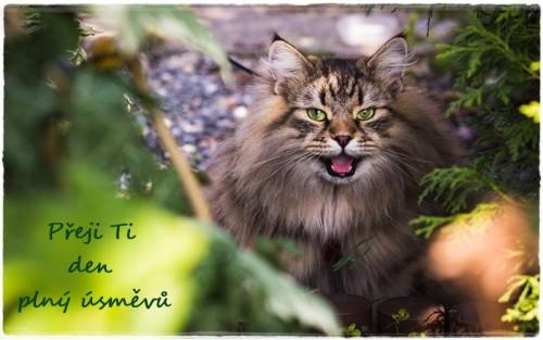 siberian-cat-6465485_960_720.jpg