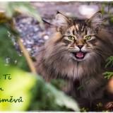 siberian-cat-6465485_960_720
