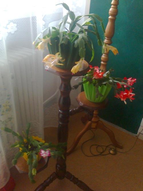 muj-vanocni-kaktus.jpg